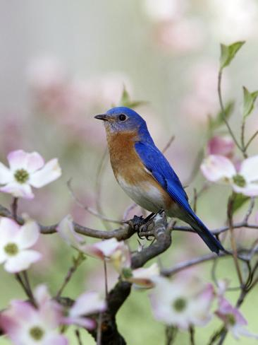 Male Eastern Bluebird in Flowering Dogwood Tree (Sialia Sialis), North America. Missouri State Bird Photographic Print
