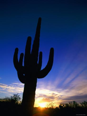 Saguaro National Park, Cactus, Sunset, Arizona, USA Photographic Print