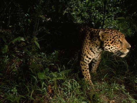 Jaguar on the Prowl Lámina fotográfica por Steve Winter en AllPosters.es