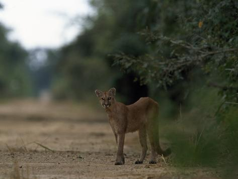Puma Stands at the Edge of a Road Photographic Print
