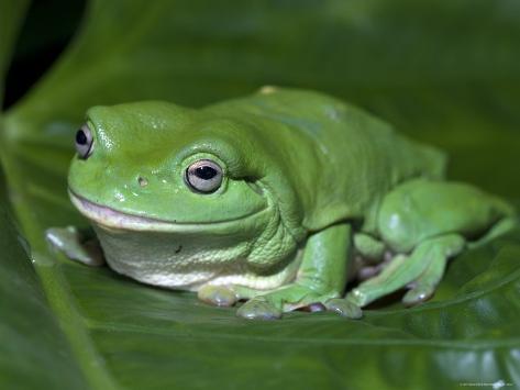 Green Tree Frog Litoria Caerulea On Leaf Northern