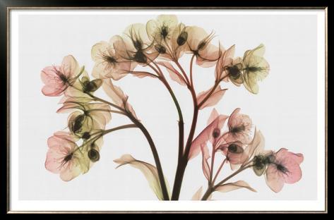 Hellebore II Framed Art Print