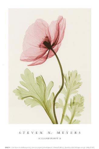 Iceland Poppy II Art Print