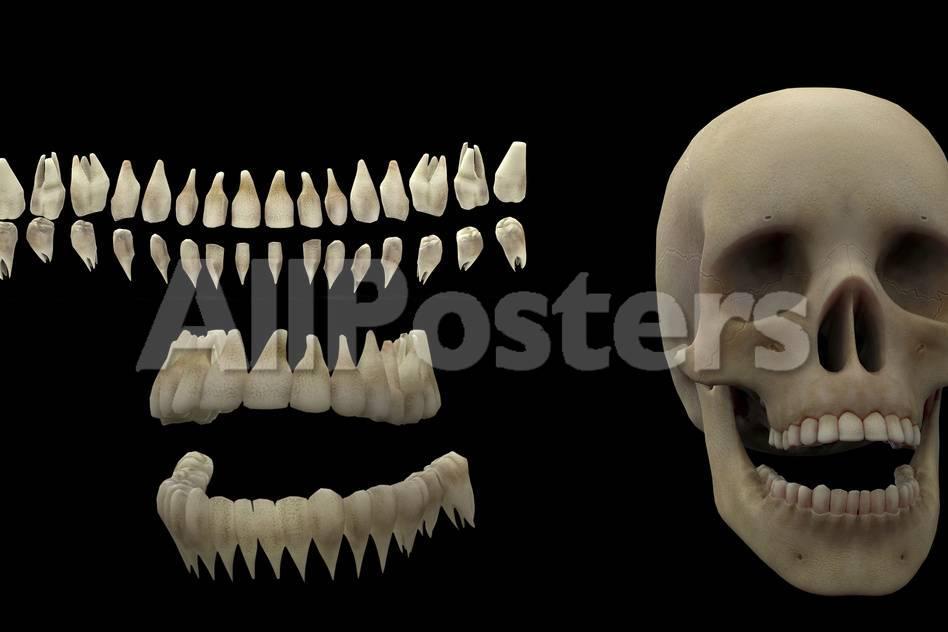 3D Rendering of Human Teeth and Skull Posters by Stocktrek Images ...