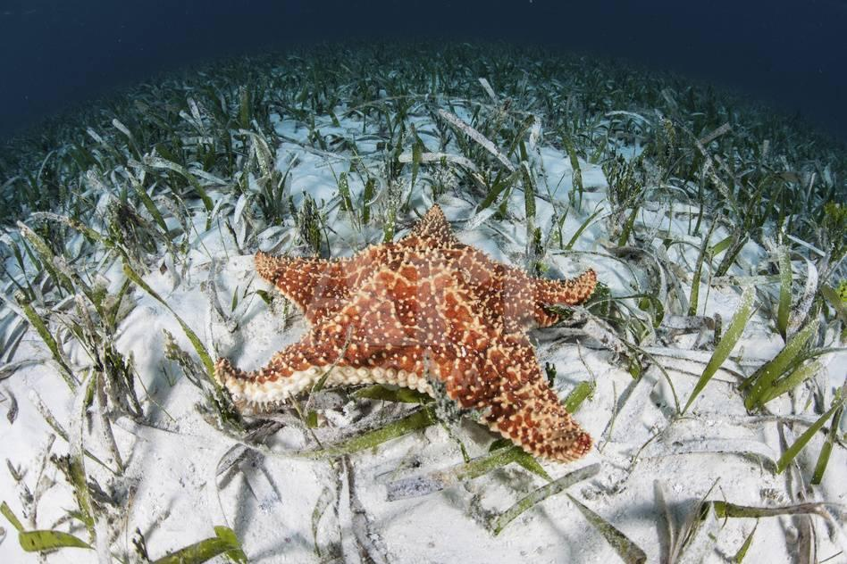 37b18762d81 A West Indian Starfish on the Seafloor in Turneffe Atoll