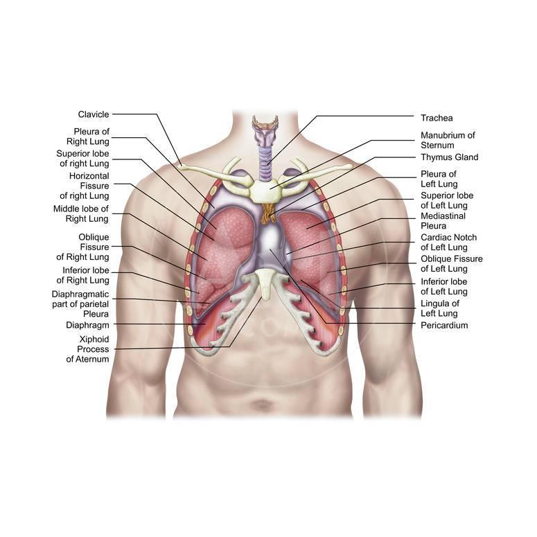 Anatomy Of Human Lungs In Situ Photographic Print By Stocktrek