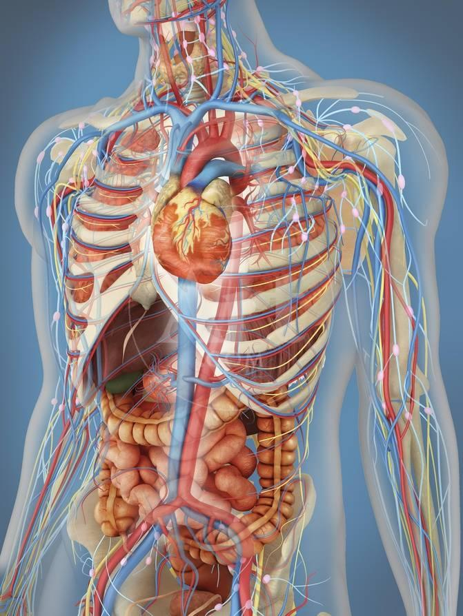 Human Body Showing Heart and Main Circulatory System Position Prints ...
