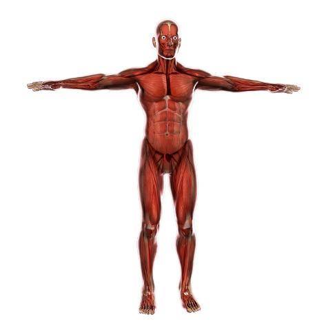 Human Muscular System Poster by Stocktrek Images - by AllPosters.ie