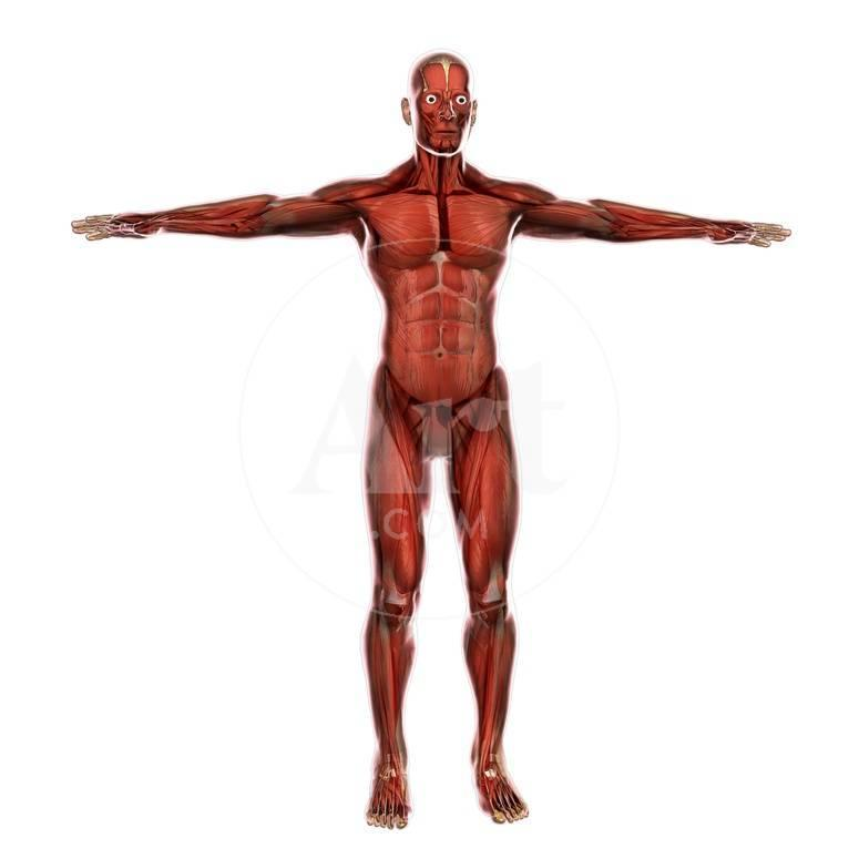 Human Muscular System Posters By Stocktrek Images At Allposters