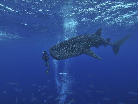 Whale Shark And Diver, Maldives Valokuvavedos