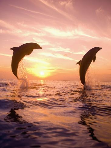 Bottlenose Dolphins, Caribbean Sea Near Roatan, Honduras Photographic Print