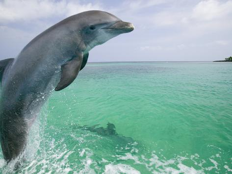 Bottlenose Dolphins, Caribbean Sea Photographic Print