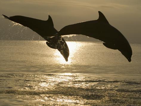 Bottlenose Dolphins, Caribbean Sea Photographic Print