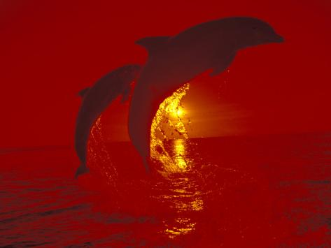 Bottlenose Dolphins, Caribbean Photographic Print