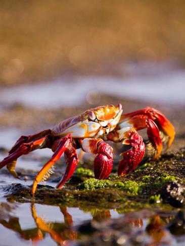 Sally Lightfoot Crabs, Puerto Egas, Galapagos Islands National Park, Ecuador Photographic Print