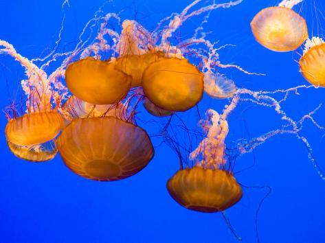 Sea Nettles, Monterey Bay Aquarium Display, Monterey, California, USA Photographic Print