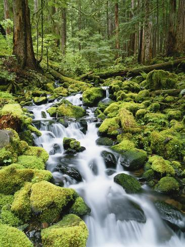 View of Creek in Old Growth Rainforest, Olympic National Park, Washington, USA Photographic Print