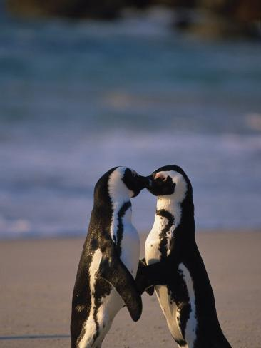 African Penguins Showing Affection Photographic Print