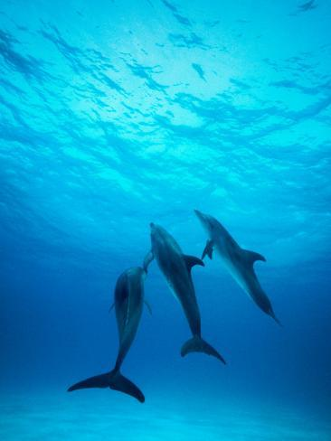 Atlantic Spotted Dolphins Underwater Photographic Print