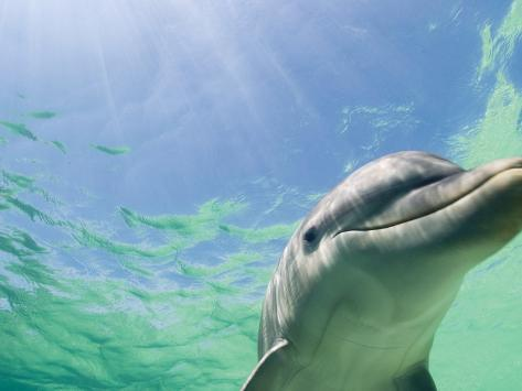 bottlenose dolphin research paper