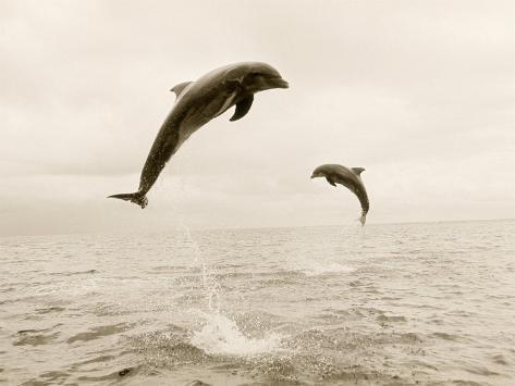 Bottlenose Dolphins Jumping Out of Water Photographic Print