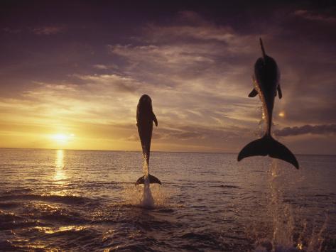 Bottlenose Dolphins, Tursiops Truncatus Photographic Print