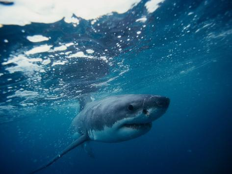 Great White Shark, South Africa Photographic Print