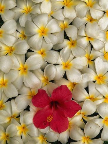 Hibiscus and Plumeria Blooms Photographic Print