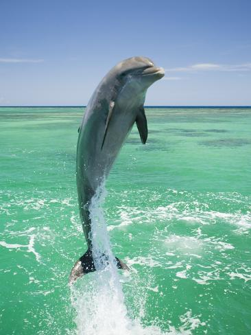 Jumping Bottlenose Dolphin Photographic Print
