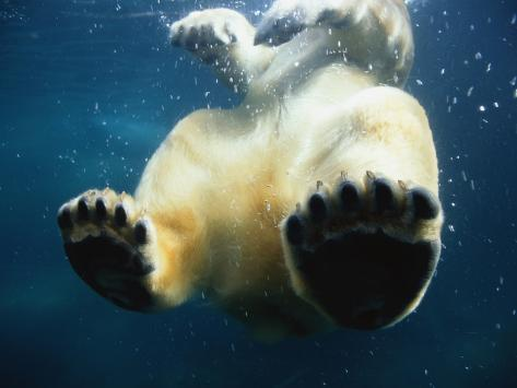Paws of a Floating Polar Bear Photographic Print