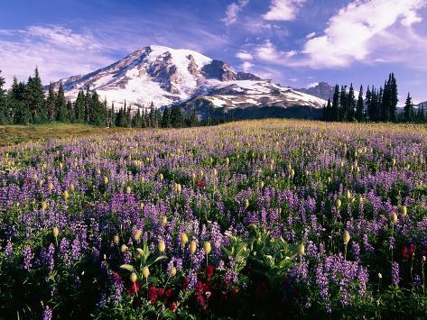 Wildflowers in Mt. Rainier National Park Photographic Print