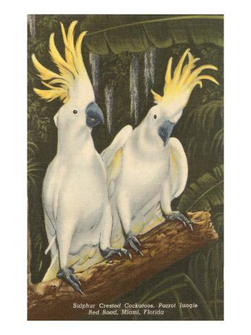 Sulphur-Crested Cockatoos, Miami, Florida Art Print