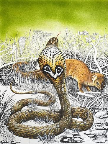 King Cobra Meets His Match, from 'Nature's Kingdom' Giclee Print