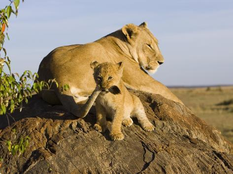 African Lion (Panthera Leo) Cub Playing with its Mother's Tail, Masai Mara Nat'l Reserve, Kenya Photographic Print