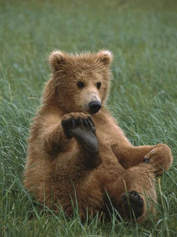 Grizzly Bear (Ursus Arctos Horribilis) Cub Playing, Katmai Nat'l Park, Alaska Photographic Print