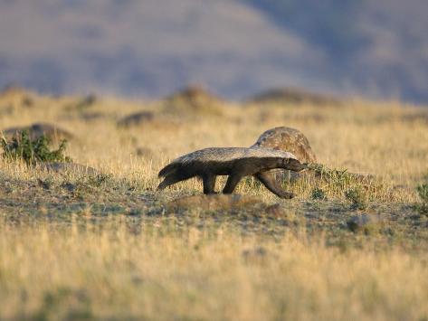 Honey Badger (Mellivora Capensis) Walking Through Grassland, Masai Mara, Kenya Photographic Print