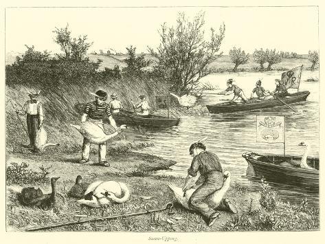 Swan-Upping Giclee Print