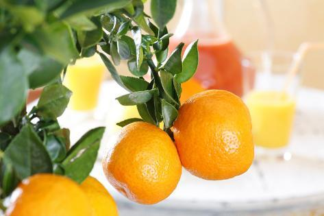 orange tree branch with fruits citrus mitis calamondin. Black Bedroom Furniture Sets. Home Design Ideas