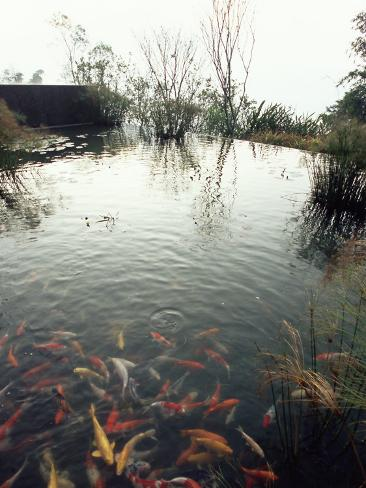 Koi carp fish in pool taipei taiwan asia photographic for Koi carp pool