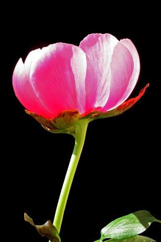 Pink Peony II Photographic Print