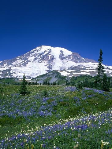 Mount Rainier and Wildflower Meadow Photographic Print