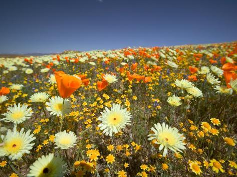 Poppies and Desert Dandelion in Spring Bloom, Lancaster, Antelope Valley, California, USA Photographic Print