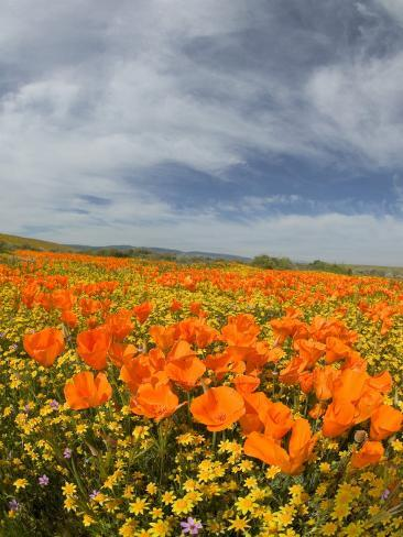 Road through Poppies, Antelope Valley, California, USA Photographic Print