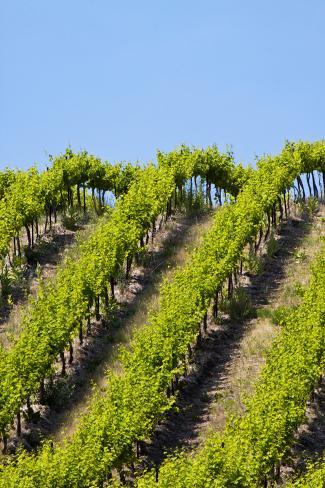 Rolling Vineyards in the Yakima County, Washington, USA Photographic Print