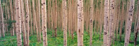 Spring Aspen, Independence Pass, Colorado, USA Photographic Print