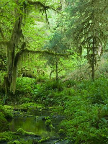 The Hall of Mosses Hoh Rainforest, Olympic National Park, Washington, USA Photographic Print
