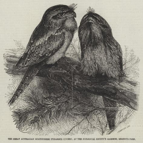 The Great Australian Goatsuckers (Podargus Cuvieri) Giclee Print