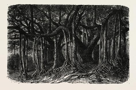 The Great Banyan Giclee Print