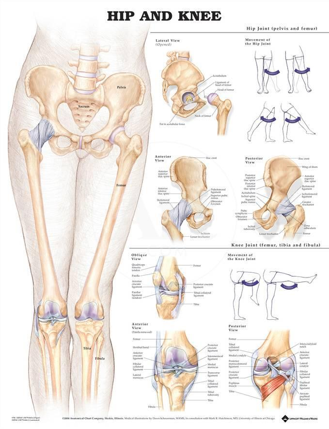 The Hip And Knee Anatomical Chart Poster Prints At Allposters