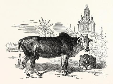 The Indian Zebu (Bos Indicus). Sometimes known as Humped Cattle or Brahmin Cattle Giclee Print